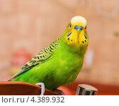 Купить «Зелёный волнистый попугай сидит на спинке стула», эксклюзивное фото № 4389932, снято 11 марта 2013 г. (c) Игорь Низов / Фотобанк Лори