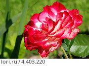 Цветение розы. Стоковое фото, фотограф Катерина Фадеева / Фотобанк Лори