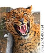 Купить «Оскалившийся леопард», фото № 4403724, снято 8 января 2013 г. (c) Эдуард Кислинский / Фотобанк Лори