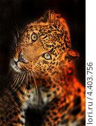 Купить «Портрет леопарда на черном фоне», фото № 4403756, снято 8 января 2013 г. (c) Эдуард Кислинский / Фотобанк Лори