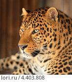 Купить «Леопард крупным планом», фото № 4403808, снято 8 января 2013 г. (c) Эдуард Кислинский / Фотобанк Лори