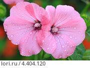 Купить «Два цветка мальвы в каплях росы», фото № 4404120, снято 30 июля 2011 г. (c) Юрий Кирсанов / Фотобанк Лори