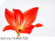 Купить «Красный амариллис», фото № 4404720, снято 28 января 2012 г. (c) Антонина Ращинская / Фотобанк Лори