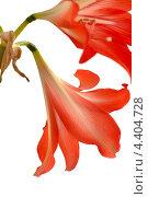 Купить «Красный амариллис», фото № 4404728, снято 1 февраля 2012 г. (c) Антонина Ращинская / Фотобанк Лори