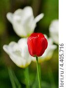 Красный тюльпан на фоне белых тюльпанов. Стоковое фото, фотограф Raulin / Фотобанк Лори