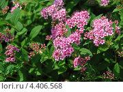 Купить «Спирея японская (Spiraea japonica)», эксклюзивное фото № 4406568, снято 20 июня 2011 г. (c) lana1501 / Фотобанк Лори