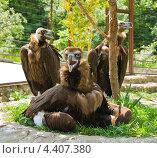 Купить «Три чёрных грифа, Ялтинский зоопарк», фото № 4407380, снято 22 мая 2012 г. (c) ИВА Афонская / Фотобанк Лори