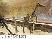 Москва, Палеонтологический музей имени Ю.А. Орлова, скелет утконосого динозавра, зауролофа (Saurolophus) (2012 год). Редакционное фото, фотограф Игорь Долгов / Фотобанк Лори