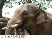 Слон с небольшими бивнями. Стоковое фото, фотограф Mikhail Starodubov / Фотобанк Лори