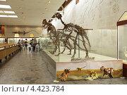 Купить «Москва, Палеонтологический музей имени Ю.А. Орлова, скелеты растительноядных динозавров», фото № 4423784, снято 16 сентября 2012 г. (c) Игорь Долгов / Фотобанк Лори