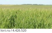 Купить «Поле зеленой пшеницы на ветру», видеоролик № 4426520, снято 19 марта 2013 г. (c) Виктор Савушкин / Фотобанк Лори