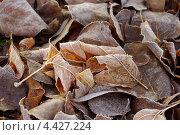 Опавшие листья в инее. Стоковое фото, фотограф Ковалева Наталья / Фотобанк Лори