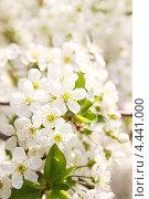 Купить «Цветущая вишня», фото № 4441000, снято 27 апреля 2012 г. (c) Юлия Маливанчук / Фотобанк Лори