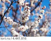 Весеннее цветение. Стоковое фото, фотограф Евгений Валерьевич / Фотобанк Лори