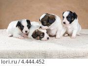 Купить «Четыре маленьких щенка породы папильон», фото № 4444452, снято 21 февраля 2013 г. (c) Сергей Лаврентьев / Фотобанк Лори
