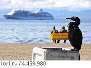 Дикая утка на фоне круизного лайнера, Камчатка. Стоковое фото, фотограф Денис Васильев / Фотобанк Лори