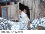 Купить «Сторожевая собака охраняет частный дом в деревне», эксклюзивное фото № 4462040, снято 2 марта 2011 г. (c) lana1501 / Фотобанк Лори