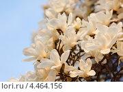 Купить «Цветущая белая магнолия Зибольда ( Magnolia sieboldii ) весной. (Малая глубина резкости)», фото № 4464156, снято 18 апреля 2012 г. (c) Ольга Липунова / Фотобанк Лори