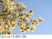 Купить «Цветущая белая магнолия Зибольда. Ветви дерева в парке весной. ( Magnolia sieboldii )», фото № 4464196, снято 7 апреля 2009 г. (c) Ольга Липунова / Фотобанк Лори