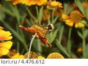 Шмель на цветке. Стоковое фото, фотограф Юрий Бажан / Фотобанк Лори