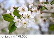 Вишня цветет. Стоковое фото, фотограф Юлия Сагитова / Фотобанк Лори