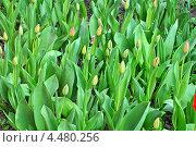 Тюльпаны в бутонах в саду. Стоковое фото, фотограф Тарасенко Татьяна / Фотобанк Лори