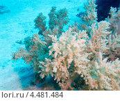 Купить «Мягкий древовидный коралл рода дендронефтия (Dendronephthya)», фото № 4481484, снято 5 мая 2012 г. (c) Сергей Дубров / Фотобанк Лори
