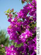 Купить «Цветущая ветка бугенвиллеи на фоне неба», фото № 4485376, снято 18 июня 2012 г. (c) Володина Ольга / Фотобанк Лори