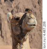 Портрет верблюда крупным планом. Стоковое фото, фотограф Анфимов Леонид / Фотобанк Лори