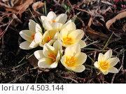 Купить «Шафран весенний (Сrocus vernus)», эксклюзивное фото № 4503144, снято 12 апреля 2013 г. (c) Ната Антонова / Фотобанк Лори