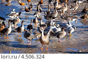 Купить «Стая серых гусей на земле», фото № 4506324, снято 24 февраля 2013 г. (c) Наталья Волкова / Фотобанк Лори