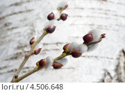Купить «Ветка ивы с почками на фоне березовой коры», эксклюзивное фото № 4506648, снято 13 апреля 2013 г. (c) Елена Коромыслова / Фотобанк Лори