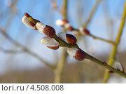 Купить «Ветка ивы с почками», эксклюзивное фото № 4508008, снято 9 апреля 2013 г. (c) Елена Коромыслова / Фотобанк Лори