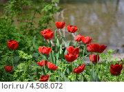 Тюльпаны. Стоковое фото, фотограф Марина Пономарева / Фотобанк Лори