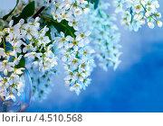 Купить «Цветущая черемуха», фото № 4510568, снято 12 мая 2012 г. (c) ElenArt / Фотобанк Лори