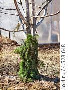 Купить «Защита плодового дерева от поражения грызунами», фото № 4528648, снято 17 апреля 2013 г. (c) Александр Романов / Фотобанк Лори