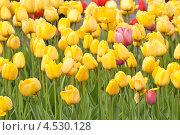 Купить «Желтые тюльпаны», фото № 4530128, снято 9 мая 2012 г. (c) Алёшина Оксана / Фотобанк Лори