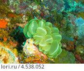 Купить «Твердый коралл плерогира пузырчатая (Plerogyra sinuosa, Bubble coral, Grape coral, Octobubble coral)», фото № 4538052, снято 3 мая 2012 г. (c) Сергей Дубров / Фотобанк Лори