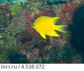 Купить «Молуккская рыба-ласточка (Pomacentrus moluccensis, Lemon damsel)», фото № 4538072, снято 5 мая 2012 г. (c) Сергей Дубров / Фотобанк Лори