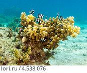 Купить «Стая зебровидных дасциллов (Dascyllus aruanus, Whitetail dascyllus) плавает вокруг твердого коралла», фото № 4538076, снято 7 мая 2012 г. (c) Сергей Дубров / Фотобанк Лори