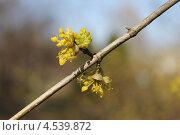 Купить «Соцветия дерена мужского, или кизила», эксклюзивное фото № 4539872, снято 19 апреля 2013 г. (c) Ната Антонова / Фотобанк Лори