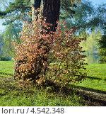 Купить «Куст с красными листьями около дерева в солнечный осенний день», фото № 4542348, снято 18 августа 2019 г. (c) Михаил Марковский / Фотобанк Лори