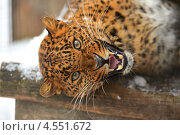 Купить «Сердитый лежащий леопард», фото № 4551672, снято 8 января 2013 г. (c) Эдуард Кислинский / Фотобанк Лори