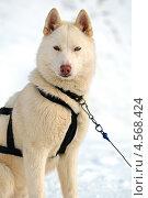 Купить «Собака породы хаски», фото № 4568424, снято 3 марта 2013 г. (c) Эдуард Кислинский / Фотобанк Лори