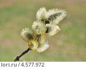 Купить «Цветущая ветка ивы козьей (Salix caprea)», эксклюзивное фото № 4577972, снято 23 апреля 2013 г. (c) Алёшина Оксана / Фотобанк Лори