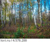 Осенний мотив с берёзами. Стоковое фото, фотограф Павел Ходыревский / Фотобанк Лори