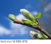Купить «Зеленая сережка ивы на фоне синего неба», фото № 4580476, снято 1 мая 2013 г. (c) Светлана Ильева (Иванова) / Фотобанк Лори