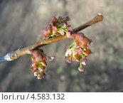 Купить «Весна. Распускающиеся сережки вяза», фото № 4583132, снято 26 апреля 2013 г. (c) Светлана Ильева (Иванова) / Фотобанк Лори