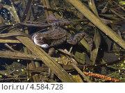 Купить «Лягушка в пруду», эксклюзивное фото № 4584728, снято 29 апреля 2013 г. (c) Елена Коромыслова / Фотобанк Лори