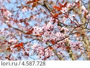 Купить «Розовые цветы вишни», фото № 4587728, снято 25 апреля 2013 г. (c) Илюхина Наталья / Фотобанк Лори